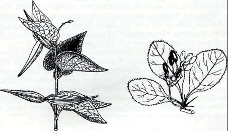 Fig. 4: Svalerot. Fig. 3: Berberis. Tegnet av Kari Aasgaard.