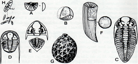 Fig. 2: Fossiler jra ordovisiumtiden omkring 450 millioner år gamle. A. Brachiopode (Orthis), lag 4b. B. Mosedyr (bryozo av Diplotrypa), lag 4b. C. Trilobitt (Casmops), lag 4b. D. Trilobitt (Telraspis), lag 4c—5. E. Trilobitt (Dalmantina), lag 5. F. Hornkorall (Streptelasma), lag 5. G. Cystiode (Echinoesphaerites), lag 5. H. Kalkalge (Paleoporella).